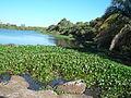 Jacaré no Pantanal de Miranda.JPG