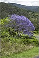 Jacaranda amongst nature-2 (22463862058).jpg