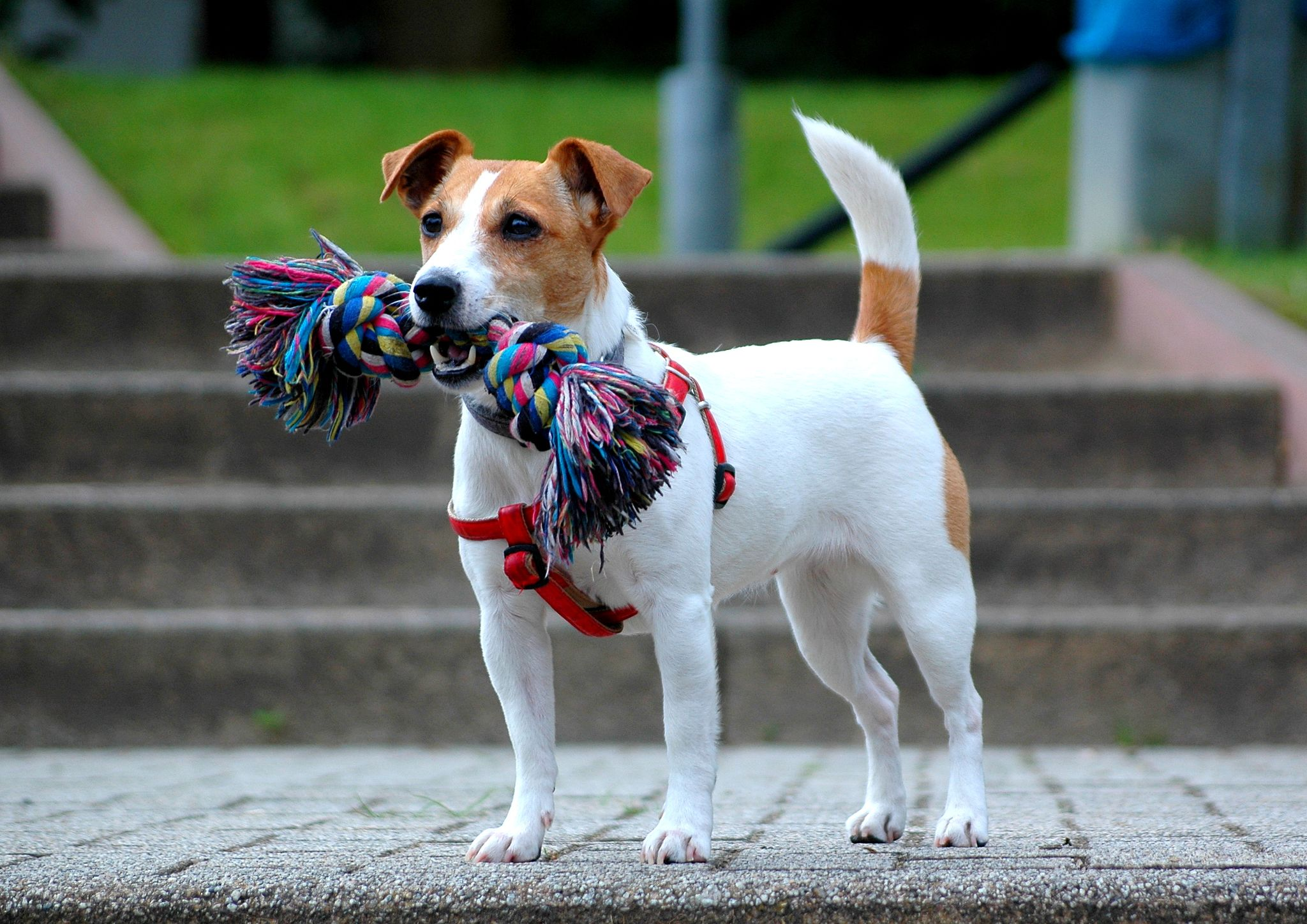 Jack Russell Terrier - bitch Demi