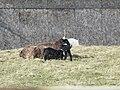 Jacob ewe with new twin lambs - geograph.org.uk - 1777399.jpg