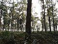 Jaldapara National park Forest.jpg