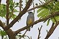 Jamaican Euphonia 2506093355.jpg