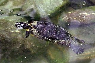 Jamaican slider Species of turtle