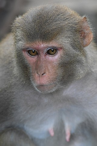 Japanese Macaque at Sundarban.jpg
