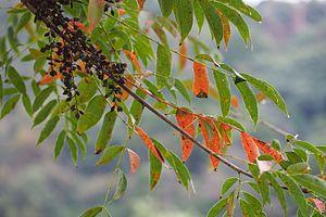 Japanese Wax Tree (Toxicodendron succedaneum) (21620095994).jpg