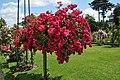 Jardin de Bagatelle Rosa Pollux 001.JPG