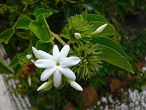 Jasmine in Karnataka - Image: Jasminum multiflorum 0002