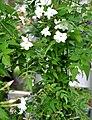 Jasminum odoratissimum Yellow Jasmine სურნელოვანი ჟასმინი.JPG