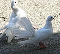 Jielbeaumadier pigeon paon ordinaire porquerolles 2011.jpeg