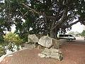 Jimei - Kah Kee Park - banyan tree - DSCF9267.JPG