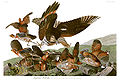 John James Audubons Plate 76 - Birds of America (Virginian Partridge).jpg
