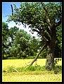 June Fruits Farming Pyrus communis Savannah - Master Seasons Rhine Valley 2013 Pear Birne Pera - panoramio.jpg