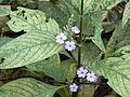 Jungli Aboli (Marathi- जंगली अबोली) (318387839).jpg