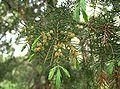 Juniperus rigida5.jpg