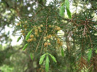 Juniperus rigida - Image: Juniperus rigida 5