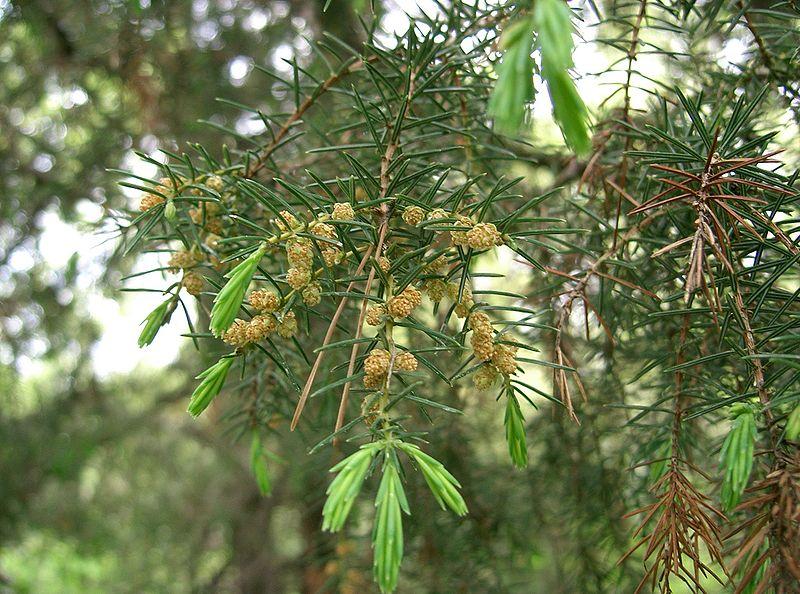 feuilles cône à polen du genevrier rigide