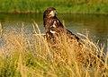 Juvenile Bald eagle FWS 18506.jpg