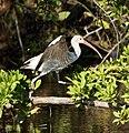 Juvenile White Ibis (4233941092).jpg
