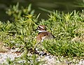 KILLDEER (4-27-07) (560658953).jpg