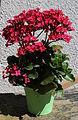 Kalanchoe blossfeldiana 9819.JPG