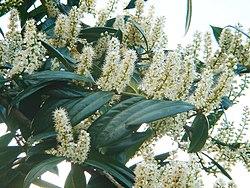 Kwitnąca laurowiśnia wschodnia