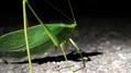 Katydid wing texture (6010427747).png