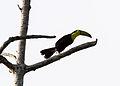 Keel-billed toucan5.jpg