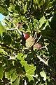 Kermes Oak Fonte Louseiros 16.02.16 (24516264754).jpg