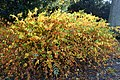 Kerria japonica kz01.jpg