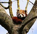 Kleiner Panda Tierpark Hellabrunn-2.jpg