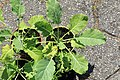 Kluse - Brassica oleracea var. ramosa - Ewiger Kohl 03 ies.jpg