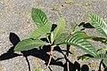 Kluse - Eriobotrya japonica - Japanische Wollmispel 04 ies.jpg