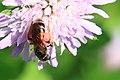 Knautien-Sandbiene Andrena hattorfiana 3556.jpg
