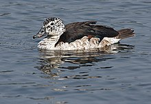 Knob-billed Duck (female) I IMG 0985.jpg
