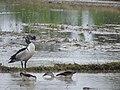 Knob Billed Duck(Sarkidiornis melanotos).jpg