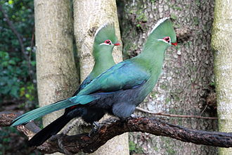 A pair of Knysna turacos or loeries for which the event is named. Knysna Turacos.JPG