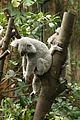 Koala schlafend.jpg
