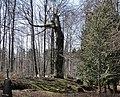 Koks kapsētā - panoramio.jpg