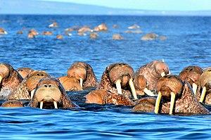 Kolyuchin Island - Image: Kolyuchin Insel 2 2013 08 01