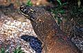 Komodo Dragon Varanus komodoensis (7880640390).jpg
