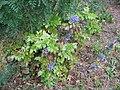 Korina 2014-07-01 Mahonia aquifolium.jpg