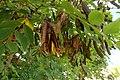 Korina 2015-06-30 Robinia pseudoacacia.jpg