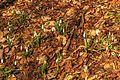 Kvetoucí sněženky v PP Sněženky ve Vysokém lese 01.jpg