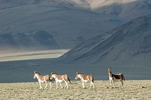 Tso Moriri - Tibetan Ass in the vicinity of Tso Moriri Lake