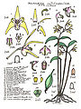 LR021 72dpi Dendrobium callitrophilum.jpg