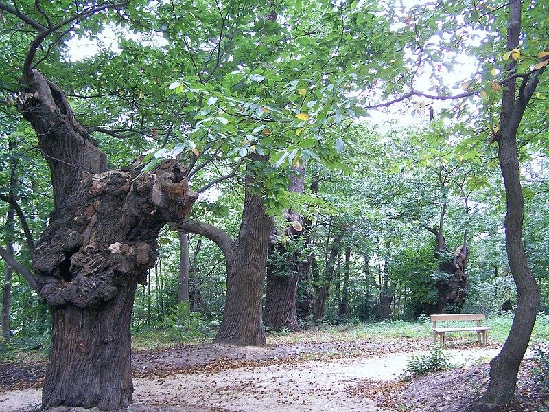 Groupe de châtaigniers du site de Tournebride à la Celle-Saint-Cloud (Yvelines, France)