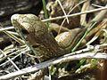 Lacerta agilis (Sand lizard), Swalmen, the Netherlands.jpg