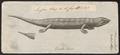 Lacerta stincus - 1700-1880 - Print - Iconographia Zoologica - Special Collections University of Amsterdam - UBA01 IZ12600013.tif