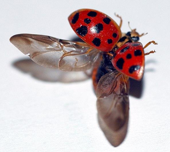 Lady beetle taking flight right bright.jpg