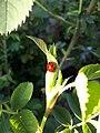 Ladybird on a rose leaf.jpg